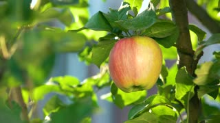 Female hand picking apple. Fruit, sunlight and leaves. Reach out to health.