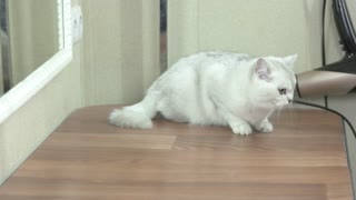 Female hand stroking cat. White british shorthair indoor.