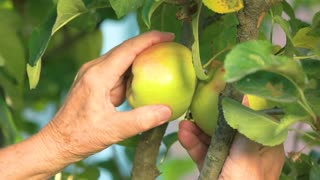 Female hands picking apples. Green fruits on branch. Healthy life tips.