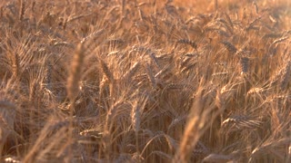 Field under sunlight. Ears move in the wind. Rich crop of barley. It's time to return home.