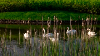 Five white swans floating on water. Swans swimming in lake on summer nature background. Graceful birds in summer park.