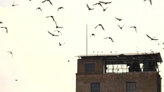 Flock of birds above old abandoned building. Swarm of pigeons, slow motion. white sky background.