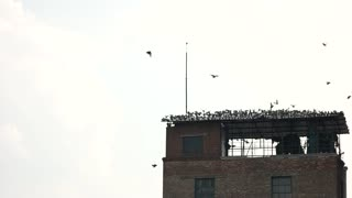 Flock of birds leaving the roof. Old abandoned building against white sky background.