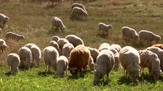 Flock of sheep eating grass. Domestic animals on a meadow. Farm in the countryside. Wool and meat.
