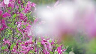 Flowering of magnolia. Beautiful spring garden of magnolia.