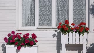 Flowers outside house window. Bright colored petunias. Plants need constant care.