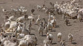 Geese eat from trough. Herd of white poultry. Birds are fed well. Good conditions for farming.