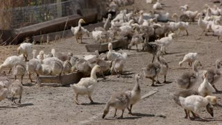 Geese near troughs with feed. Big herd of poultry. Breeding birds at the farm. Agriculture needs new investments.
