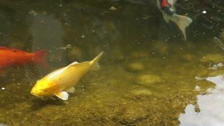Goldfish swim in the lake. River with fish.