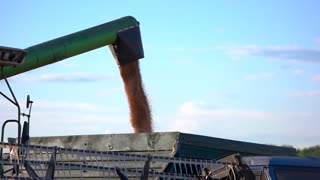 Grain falls into a truck. Side pipe of a combine. Cargo of wheat. Key ingredient for bread.