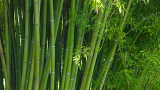 Green bamboo trunks. Leaves and stems. Get lost in the jungle.