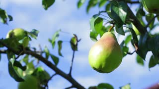 Green pear on tree branch. Leaves moving in the wind. Fruit garden in summertime. Absolutely clean environment.