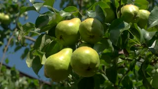 Green pears on a branch. Leaves of tree and fruit. Ecology guarantees rich harvest. Juicy natural food.
