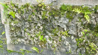 Green plants on aged wall. Stone, moss and leaves.