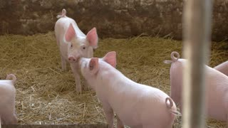 Group of pigs. Piggies walk on yellow straw. Domestic animals in the barn. Farm sells young hogs.