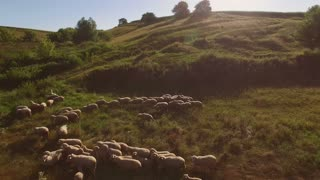 Group of sheep. Animals on the meadow. Cattle breeding is profitable business. Territory outside the farm.