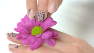 Hand gently caress little chrysanthemum. Young woman hand with beautiful manicure slowly touching pink chrysanthemum flower. Sensuality and delicacy concept.