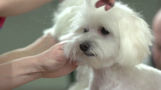 Hands of dog groomer, scissors. Healthy white maltese. Pet health and beauty.