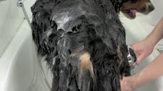 Hands of woman bathing dog. Pet in bathtub, shampoo.
