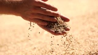 Hands with grain, slow motion. Close up, grain hearvest.