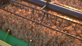 Harvester blade cuts ears. Machine moving on the field. Company bought new combine. Gather tons of wheat.