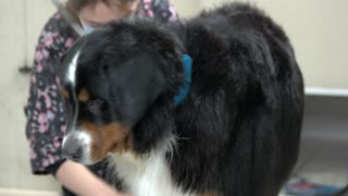 Healthy bernese mountain dog. Furry dog being groomed. The ultimate dog grooming guide.