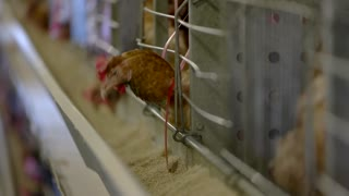 Hen in a cage. Bird is eating feed. Create good conditions for poultry. Chicken farm outside the town.