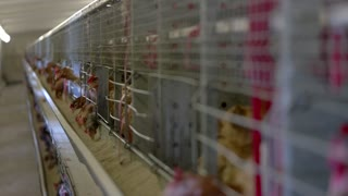 Hens are pecking feed. Domestic birds in cages. Breeding poultry in good conditions. Chickens must live in warmth.