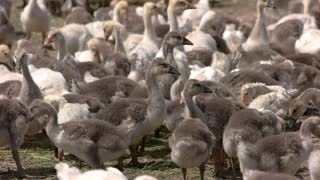 Herd of geese. Birds walk and eat hay. Feed provided by nature. Poultry must be well-fed.