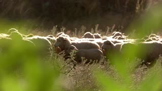 Herd of sheep is moving. Animals under sunlight. Livestock bred in the village. Rural regions have better ecology.