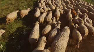 Herd of sheep is running. White sheep on meadow. Grassy terrain for grazing. Animals bread for valuable wool.