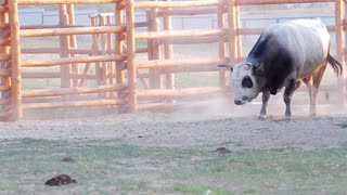 Horned bull in the aviary. Bull sprinkle himself of sand.