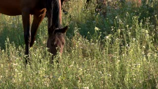 Horse eats grass. Hoofed animal on meadow. Young stallion is grazing. Keep environment clean.