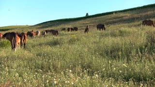 Horse herd on meadow. Animals and blue sky. Clear day at the pasture. Group of wild mustangs.