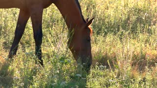 Horse is eating grass. Hoofed animal on a meadow. Young wild stallion. Warm sun and fresh air.