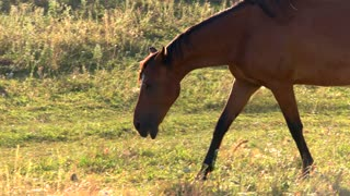 Horse is walking on grass. Hoofed animal of brown color. Stallion of wild breed. Nature is my home.