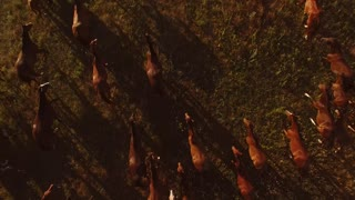 Horses are running on meadow. Aerial view of moving animals. Aspiration to common goal. Find strength in unity.