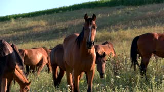 Horses eat grass. Group of animals on meadow. Herd outside the farm. Improve ecology and help wildlife.