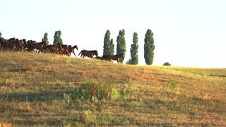 Horses run on grassy meadow. Animals and clear sky. Fast horses of caspian breed. Earn money on races.
