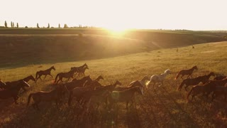Horses running on grass. Aerial view of horse herd. Born to be wild. Freedom and power.