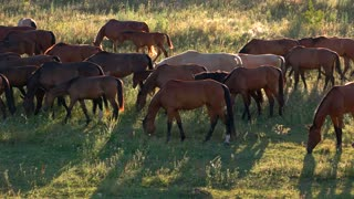 Horses walk and eat grass. Brown horses on meadow. Animals in the wild. Adapt and survive.