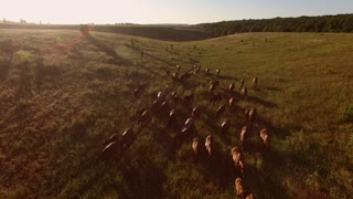 Horses walking on the meadow. Aerial view of animal group. Herd is moving slowly. Path lies through fields.