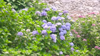 Hydrangea bushes in summer. Purple and pink flowers.