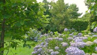 Hydrangea shrub in summer. Light purple flowers.