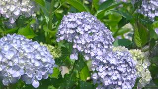 Hydrangeas close up. Beautiful light purple flowers.