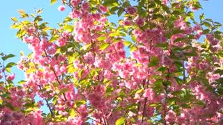 Japan sakura blossom close up. Oriental cherry blossom over sky background close up. Beautiful floral background.