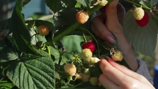 Lady's hand plucks berries. Raspberries in white bowl. Eat vitamins and stay healthy. Good to have a garden.