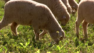 Lamb is eating grass. Hoofed domestic animal. Livestock bred for wool. Clean land for pasture.