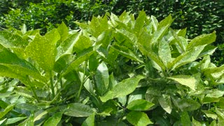 Leaves and sunlight. Lush green plant. What is photosythesis.