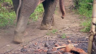 Legs of huge elephant. Big elephant goes through the jungle. Wild elephant. Elephant dragging his chain.